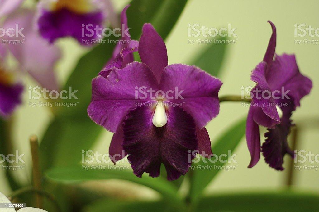 Edison Purple Orchid stock photo