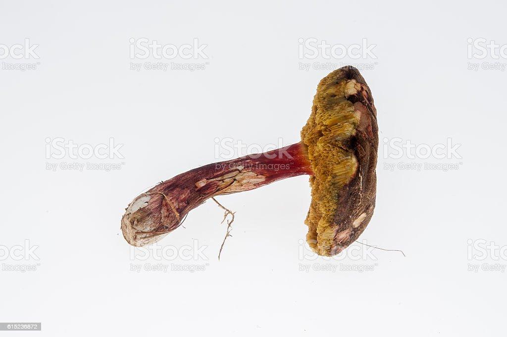 Edler Rotfußröhrling stock photo
