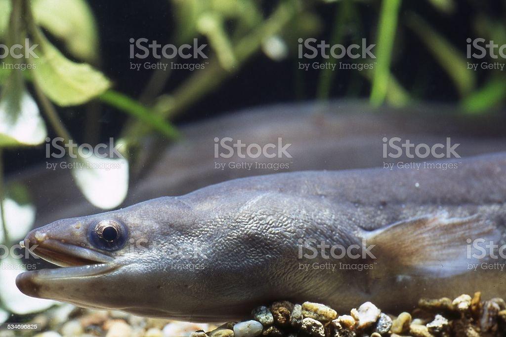 Eel, Anguilla stock photo