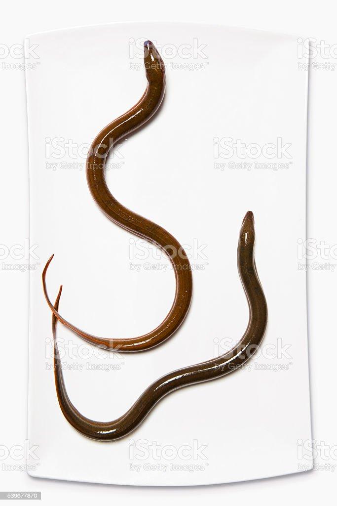 Eel on white background stock photo