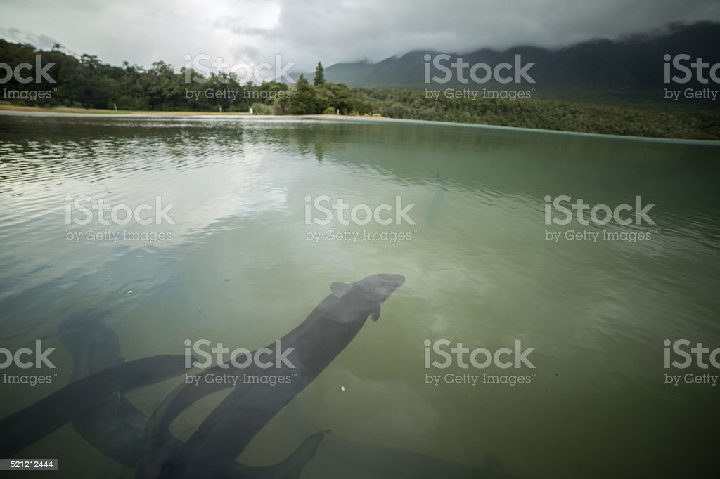 Eels in lake Rotoiti, mountain landscape on background stock photo