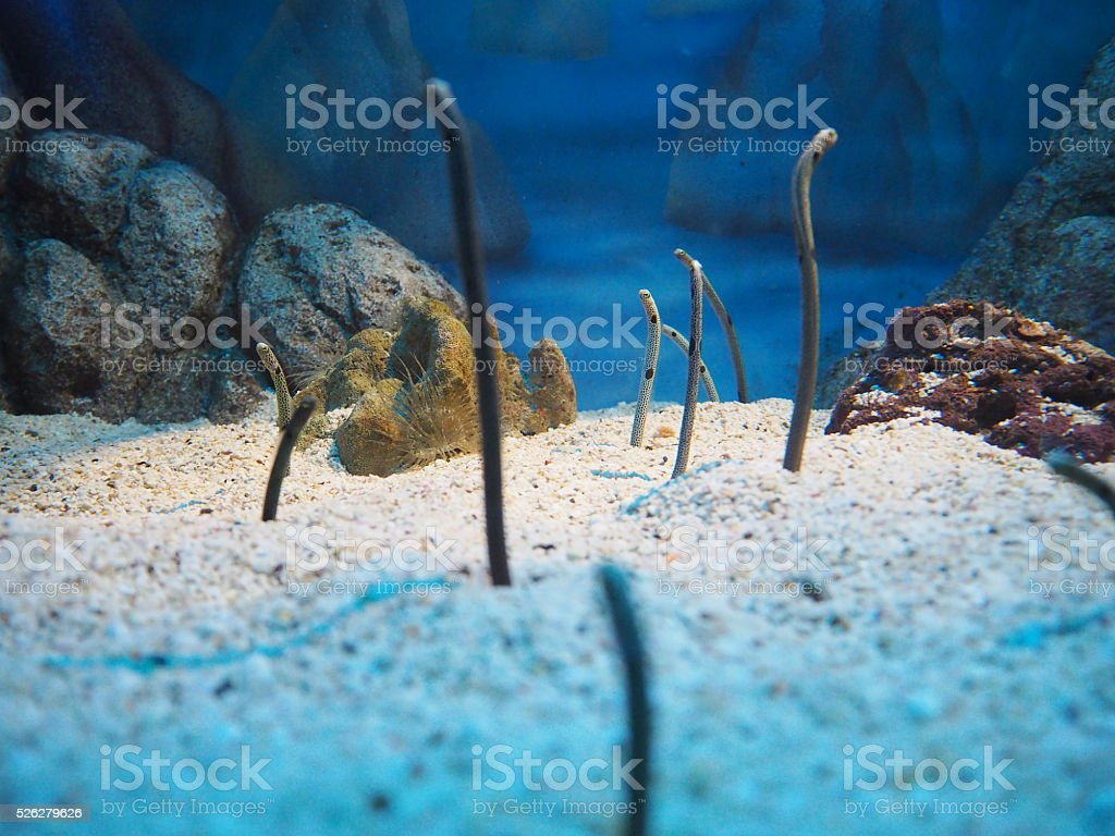 Eels in the sea stock photo