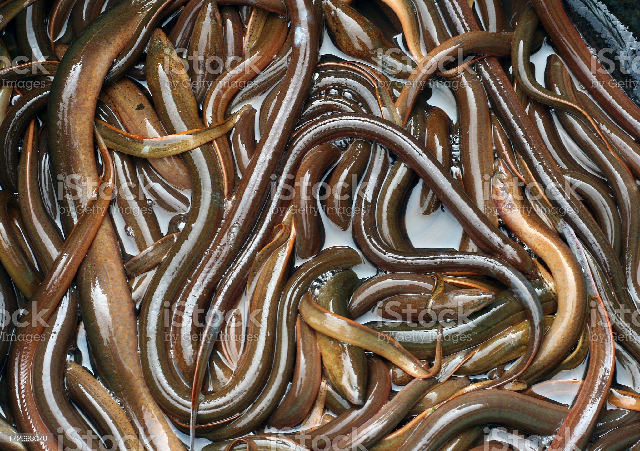 eels royalty-free stock photo