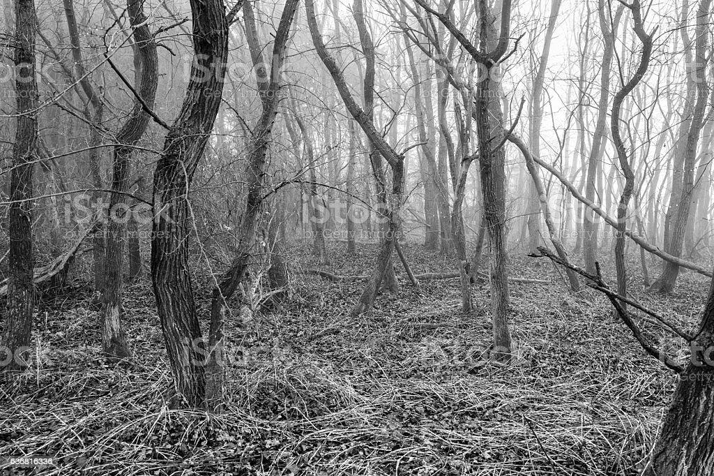 Eerie Woodland. stock photo