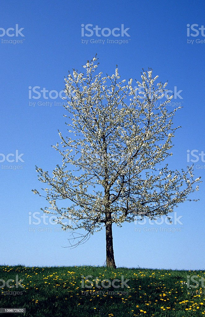Efflorescended Tree 2 royalty-free stock photo