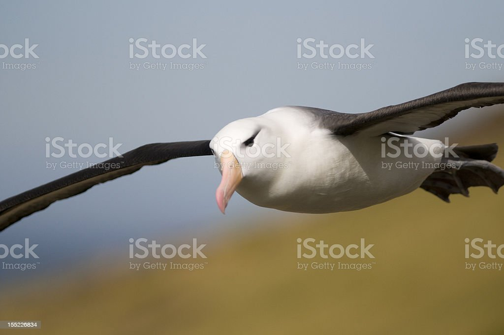 Effortless Flight stock photo