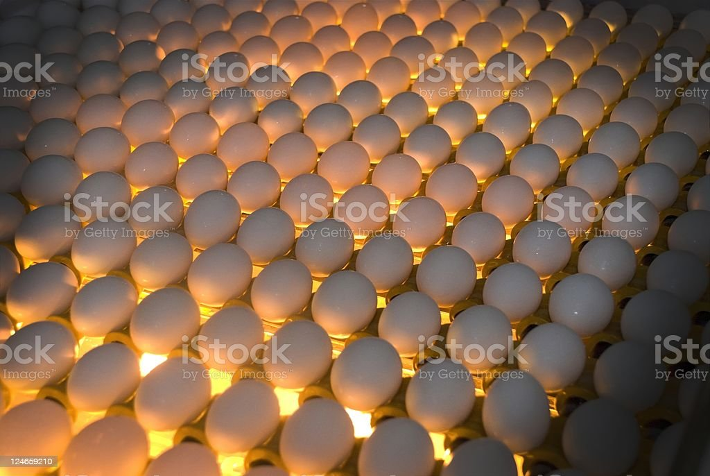 Egg Factory - Quality Control by candling stock photo