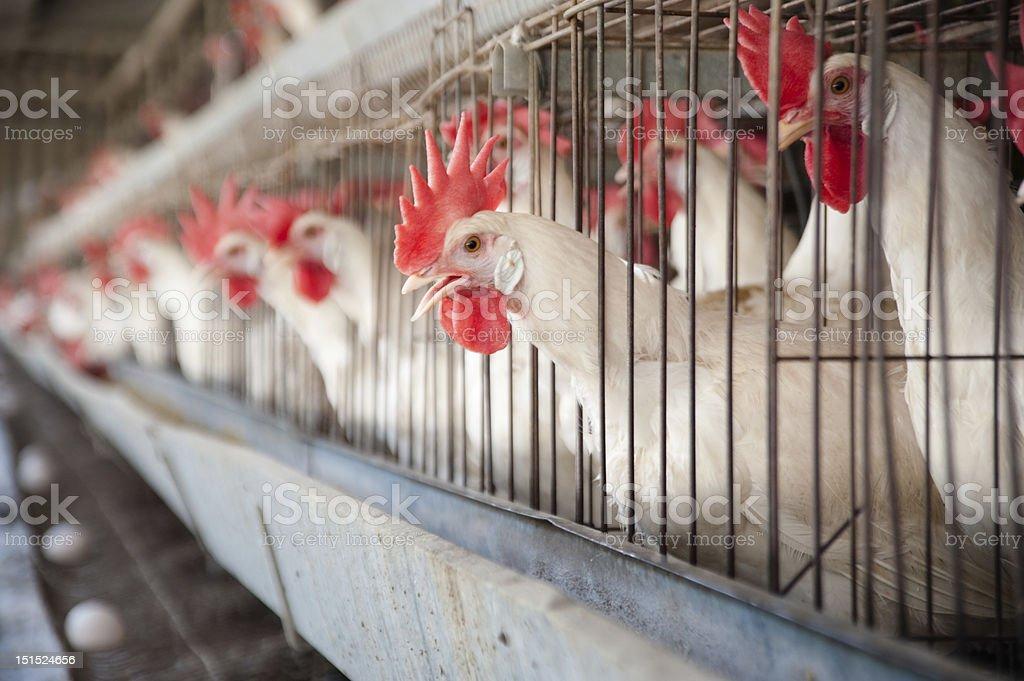 Egg Hen House stock photo