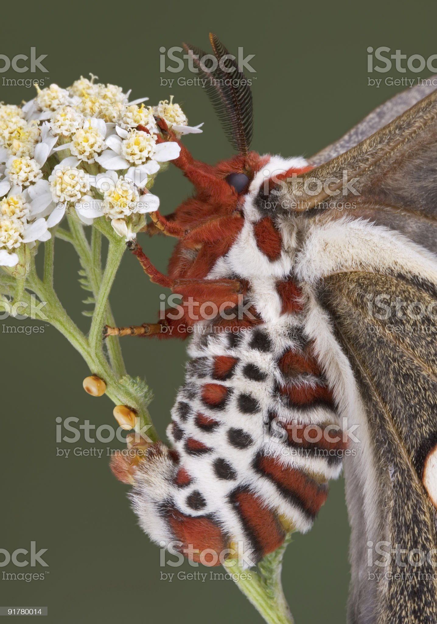 Egg laying cecropia moth royalty-free stock photo