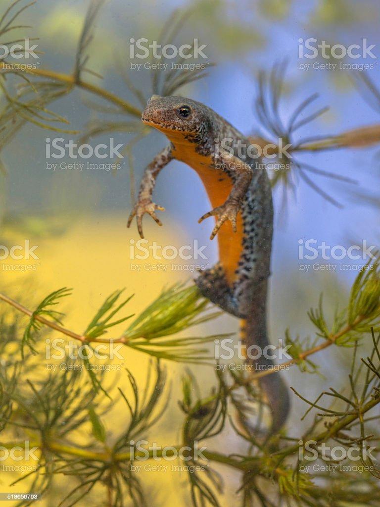 Egg laying Female  Alpine Newt stock photo