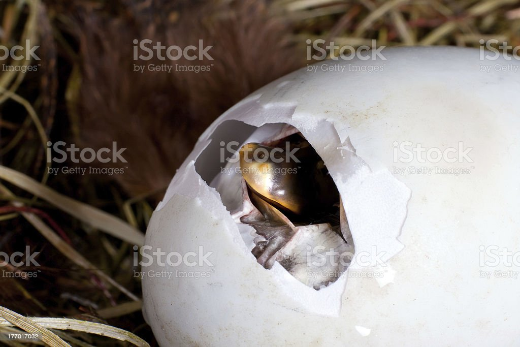 Egg pipping stock photo