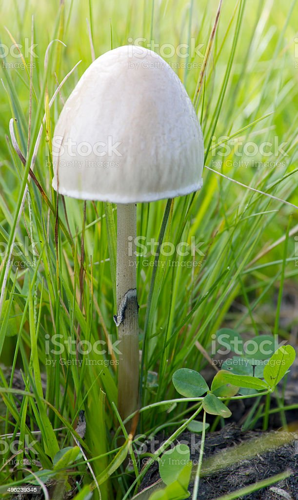 Egghead Mottlegill Mushroom (Panaeolus semiovatus) stock photo