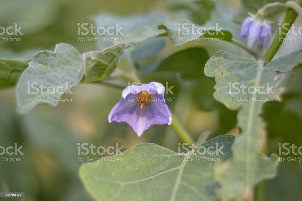 eggplant flower stock photo