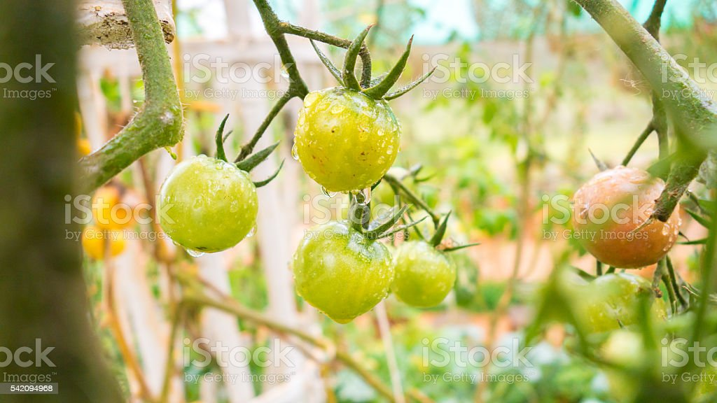 eggplant in garden with nature background stock photo