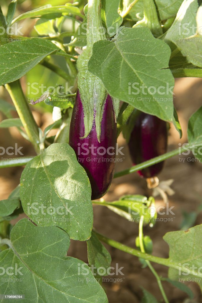 Eggplant on a branch stock photo
