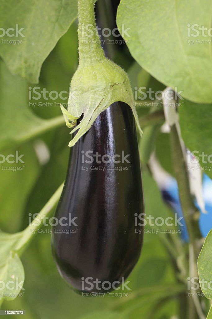 Eggplant on the vine royalty-free stock photo