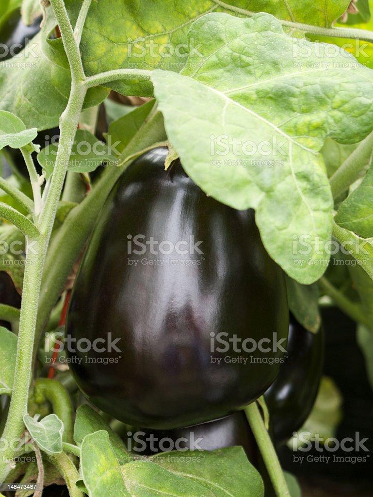 Eggplant stock photo