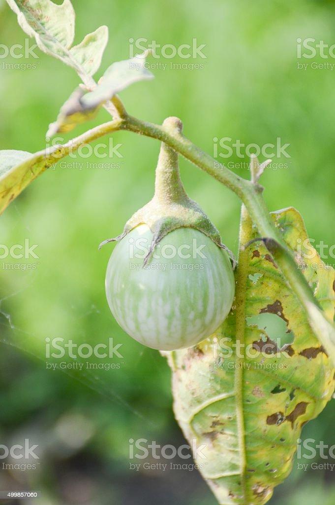 eggplant tree stock photo