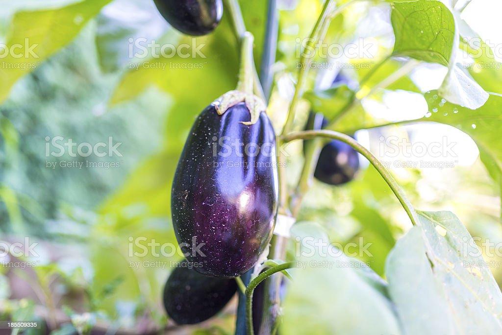 Eggplants growing stock photo