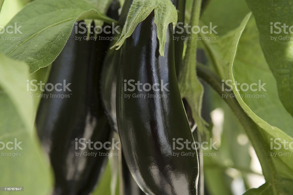 eggplants hanging on vine ready for cropping stock photo