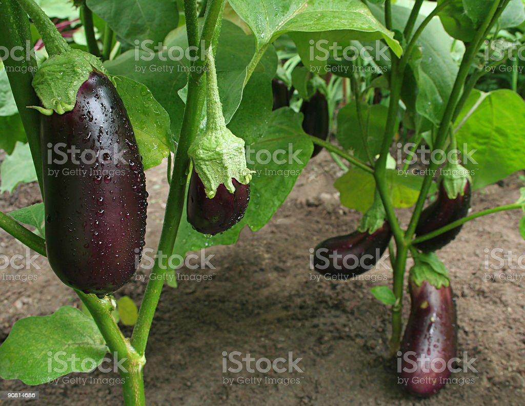 eggplants harvest stock photo