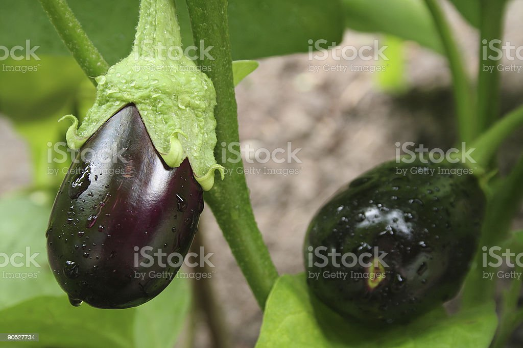 eggplants with drops close-up royalty-free stock photo