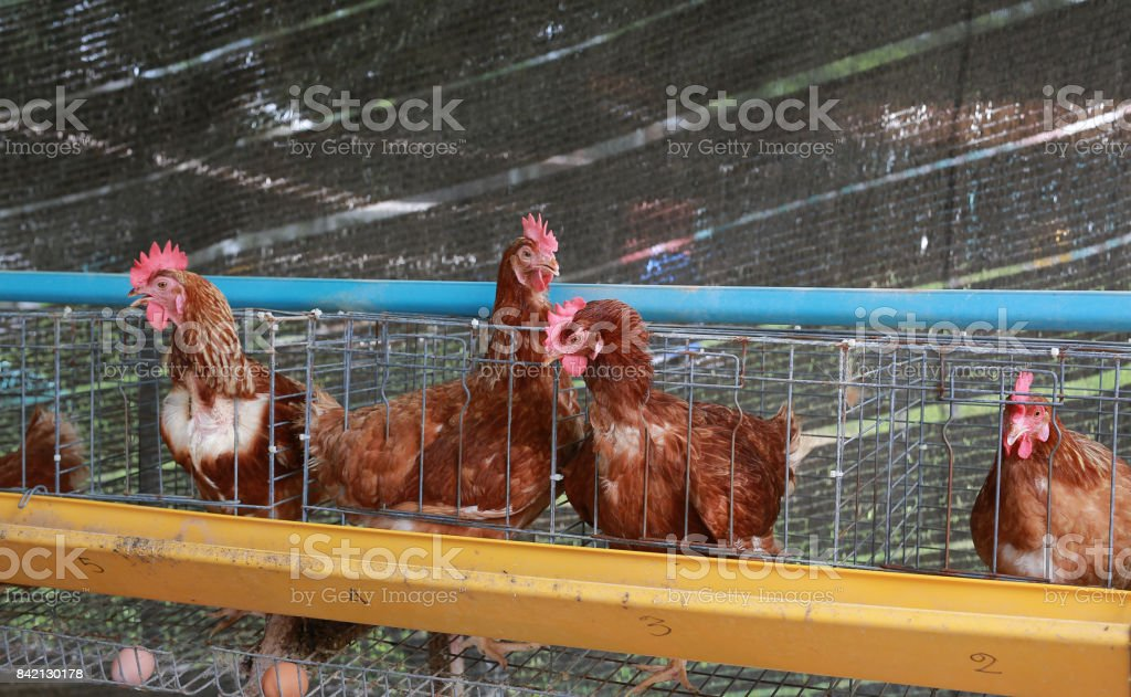 Eggs chicken farm, Chickens in battery cages laying eggs. stock photo