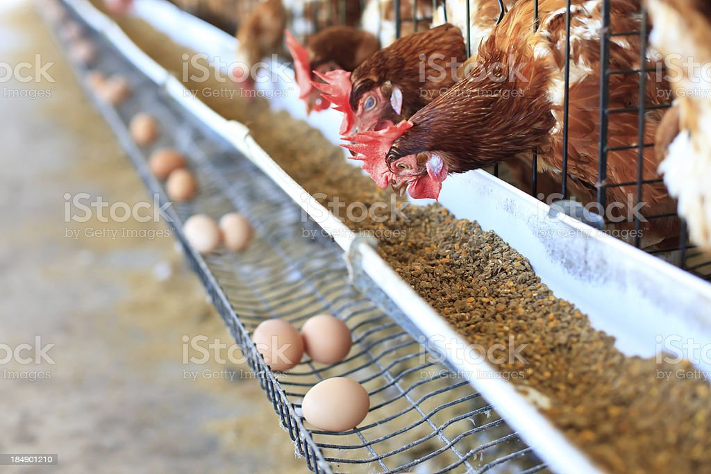 Eggs chicken farm stock photo