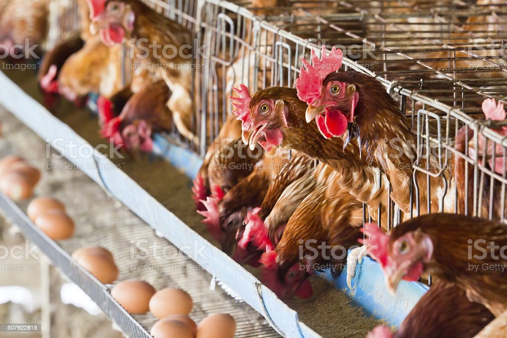 Eggs chicken farm stock photo