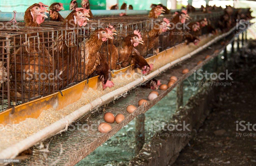 Eggs chicken farm. stock photo