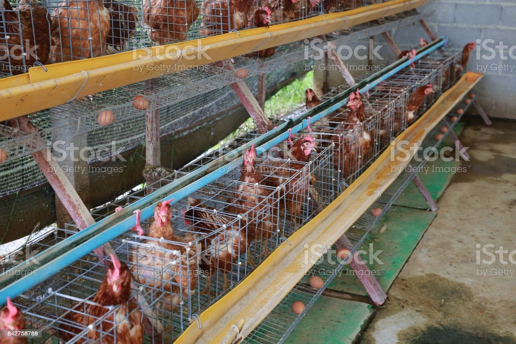 Eggs Chickens ,hens in cages industrial farm. stock photo