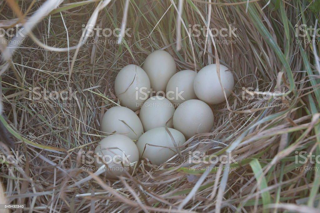 Eggs in ground pheasant nest stock photo