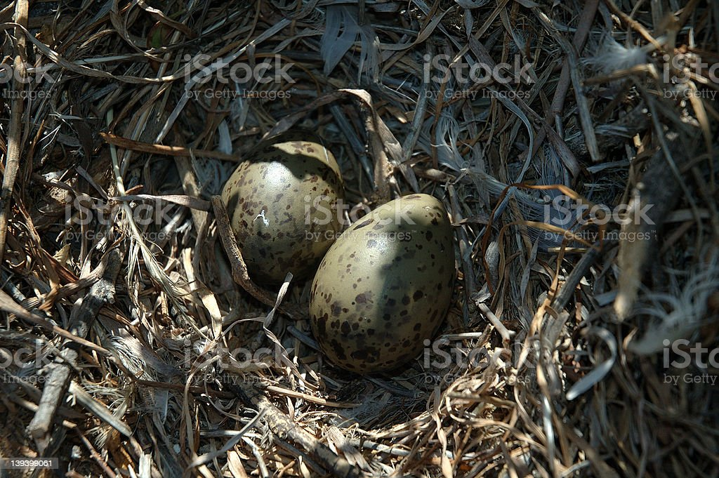 Eggs in nest royalty-free stock photo