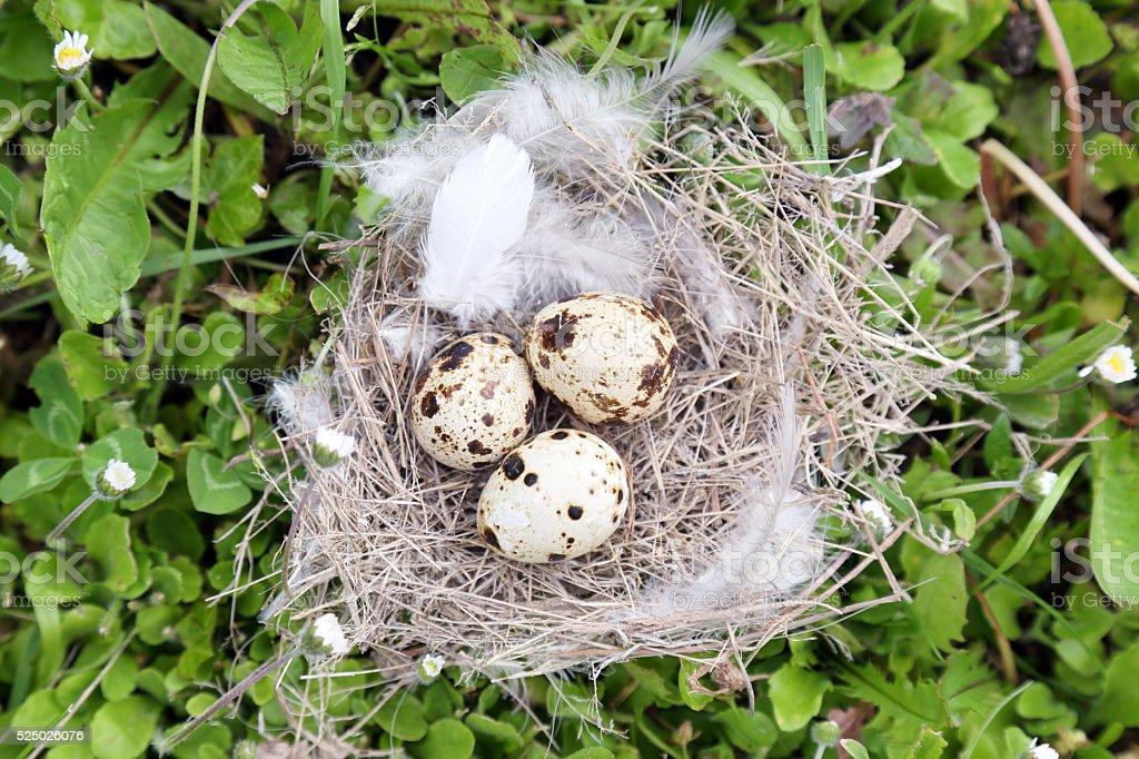 Eggs in nest stock photo