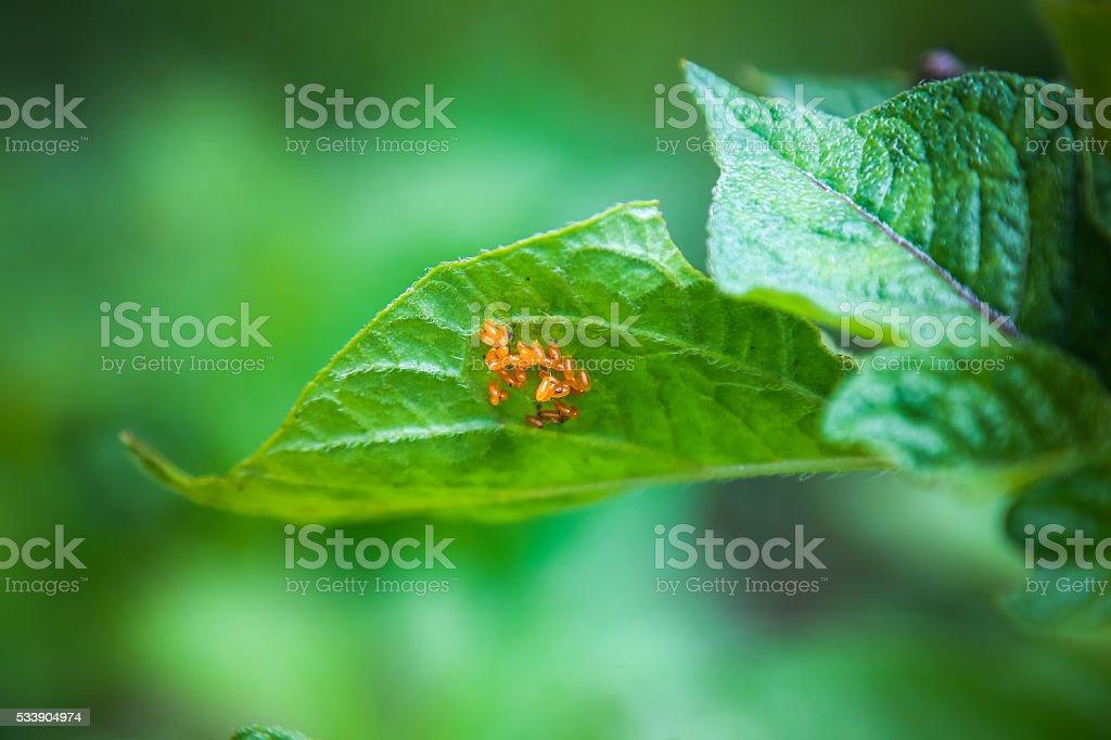 Eggs of Colorado potato beetle on potatoes plant leaf stock photo
