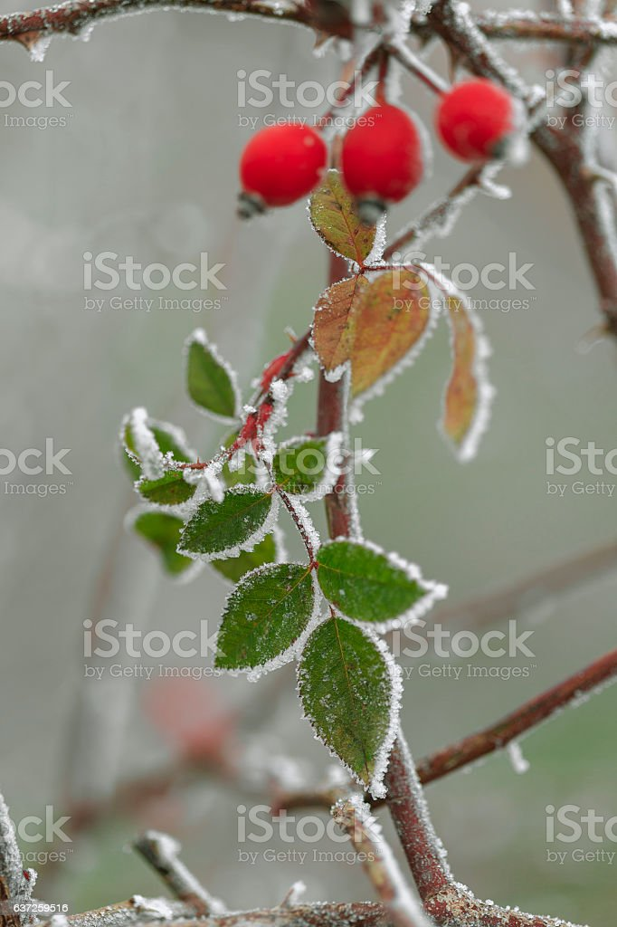 Eglantine bush with berries kissed by frost stock photo