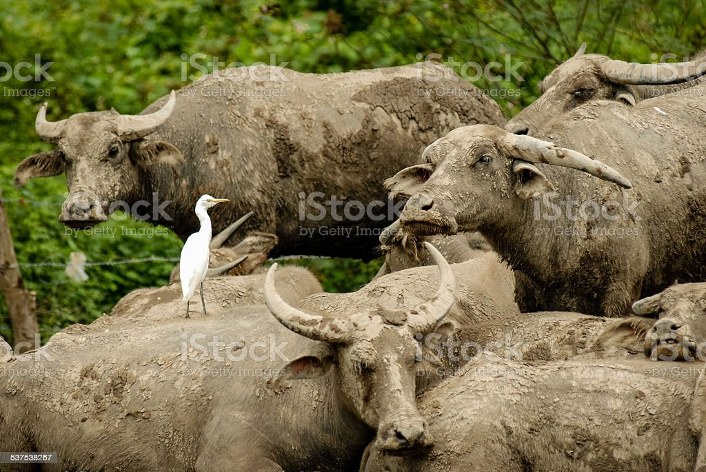 Egret and buffaloes stock photo