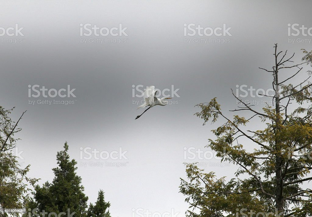 egret and pines stock photo