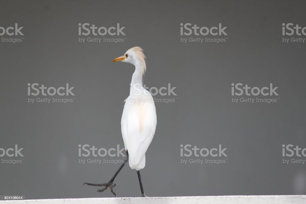 Egret Bird stock photo