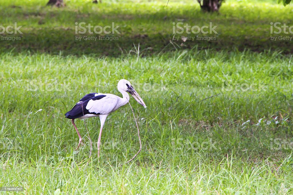 Egret bird stand alone in forest royalty-free stock photo