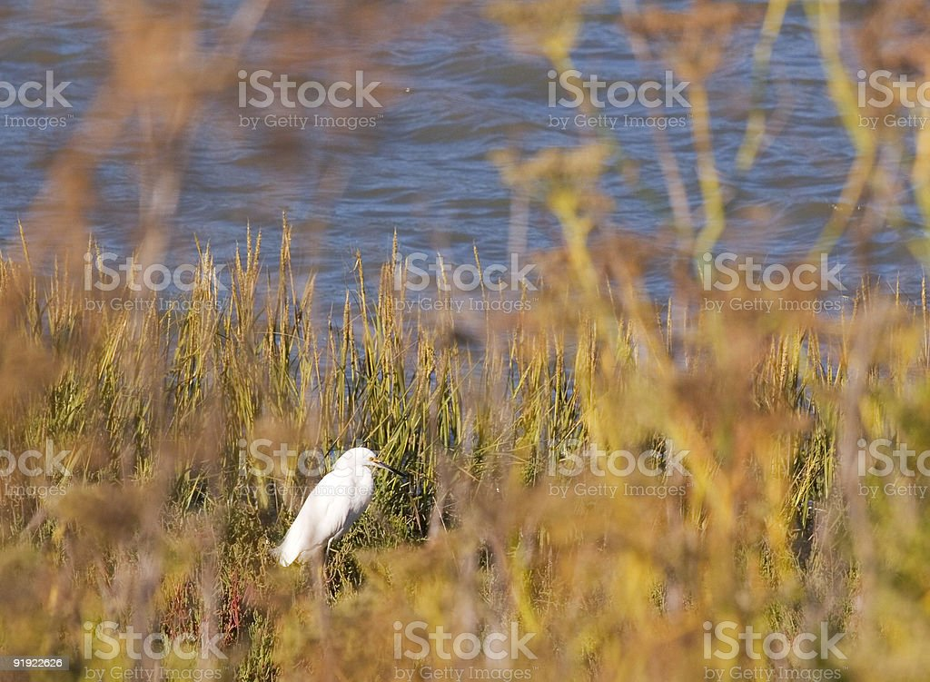 Egret Brush royalty-free stock photo