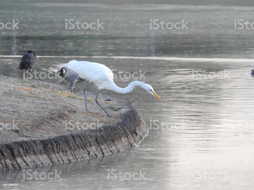 Egret Crouched stock photo