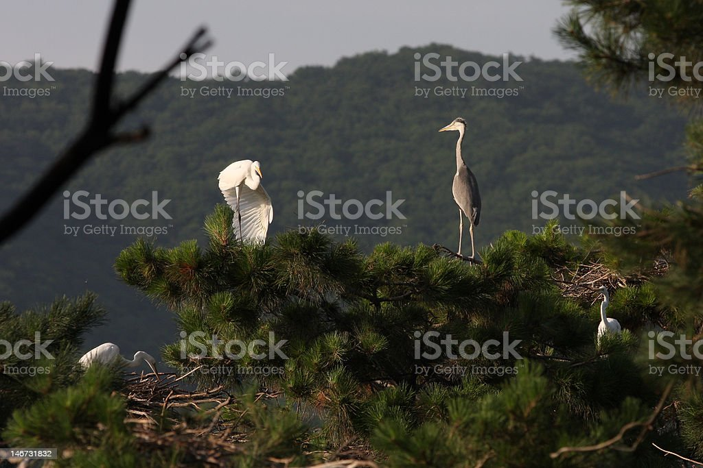 Egret Dacing stock photo