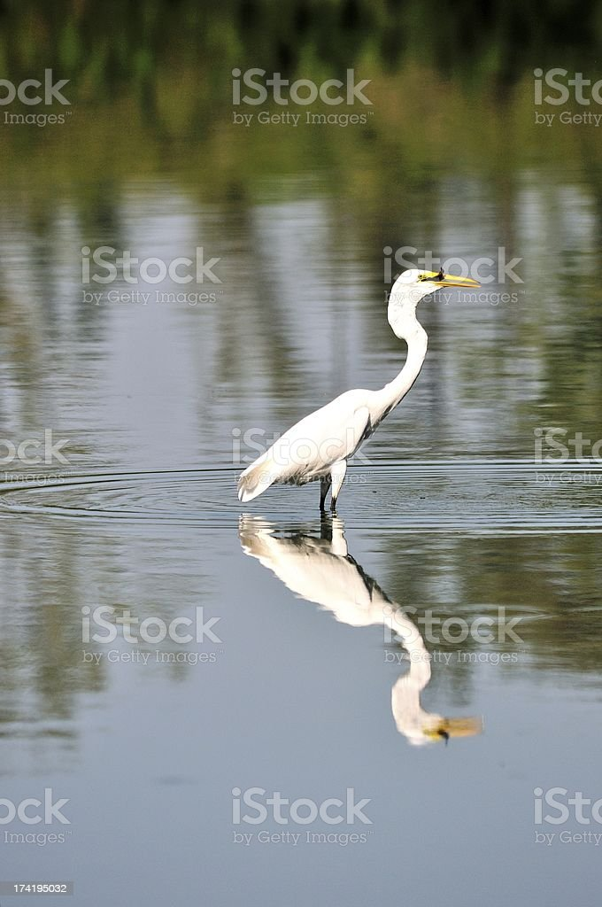 Egret eating fish royalty-free stock photo