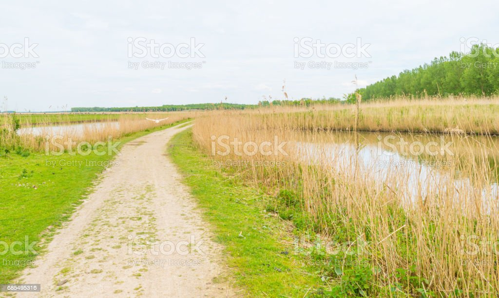 Egret flying over a path along a lake in spring stock photo