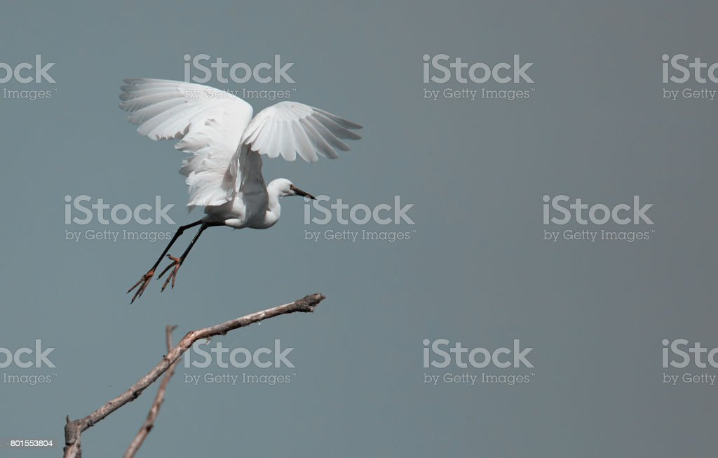 egret flying over the sky stock photo
