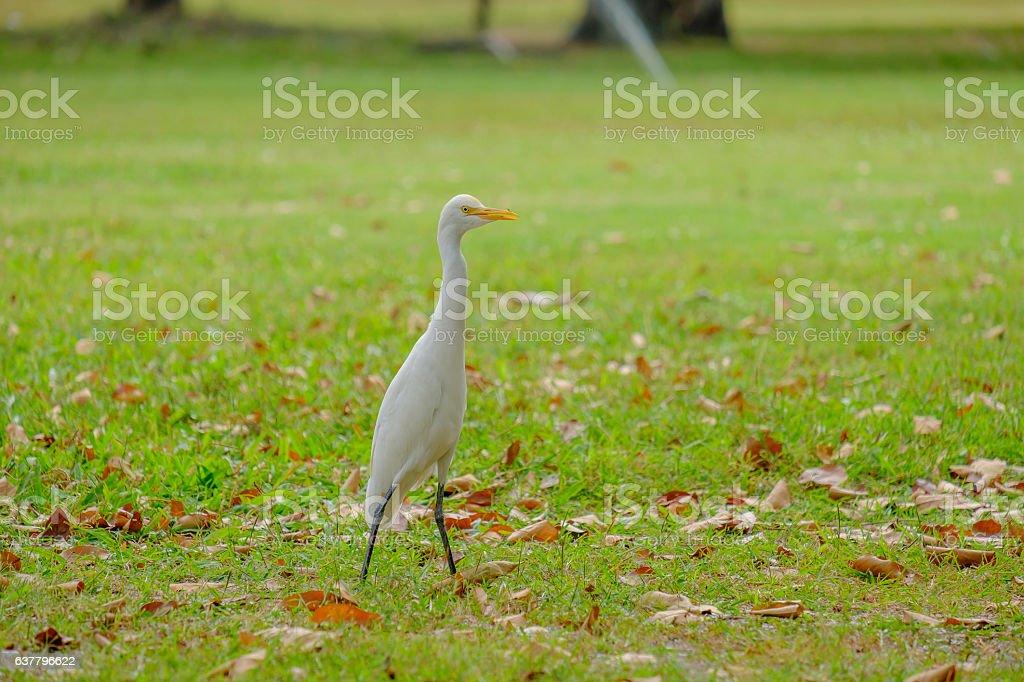 Egret foraging walk. stock photo