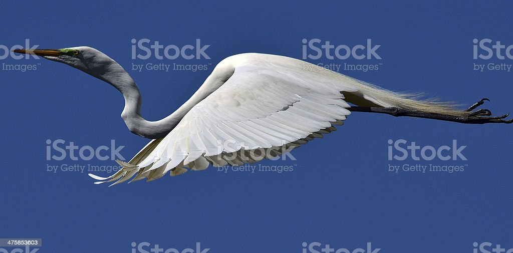 Egret Glide royalty-free stock photo