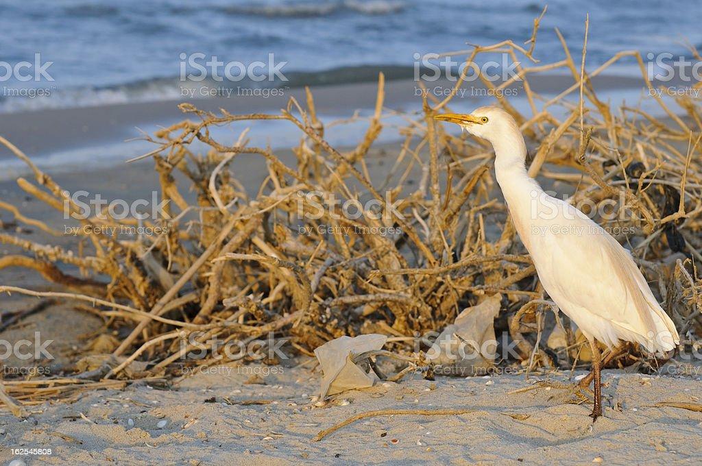 Egret in Egypt stock photo