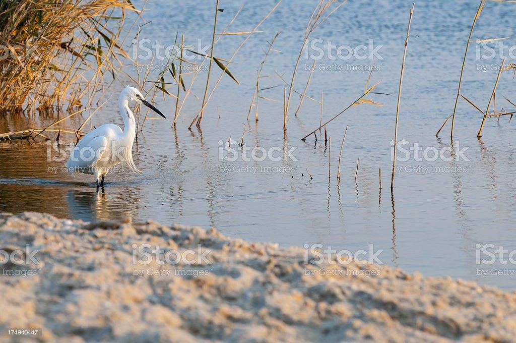 Egret in Egypt's Lake Qarun stock photo